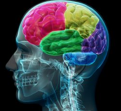 brain-coloed-sections-PWD3VK6